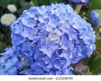 blue hortensia street flower