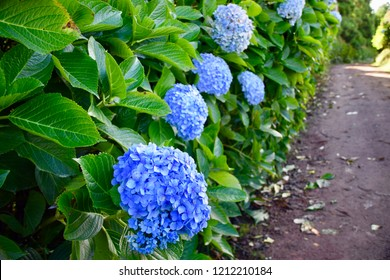 Blue hortensias blooming at Sao Miguel island Azores
