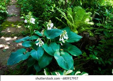 Blue hosta near the garden pathway