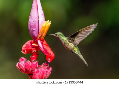 Blue hummingbird Violet Sabrewing flying next to beautiful red flower. Tinny bird fly in jungle. Wildlife in tropic Costa Rica. Two bird sucking nectar from bloom in the forest. Bird behaviour