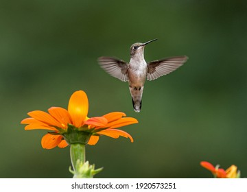 Blue hummingbird Violet Sabrewing flying next to beautiful red flower