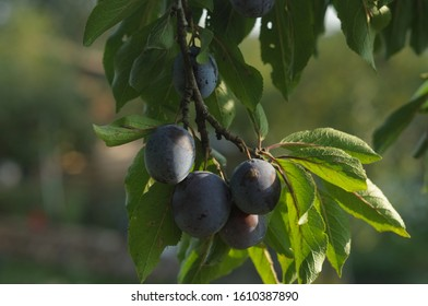 Blue Hungarian plums on the tree