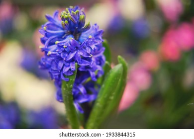Blue hyacinth flower with dew drops, copy space for text. Buying houseplants and flowers for home gardening.