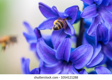 Blue Hyacinth Flowers Close up. Bee Pollinating Flowers
