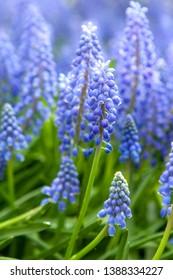 Blue hyacinth flowers in closeup