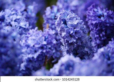 Blue Hyacinth flowers macro photography with blur background in Floriculture Experiment Center of Taipei, Taiwan.