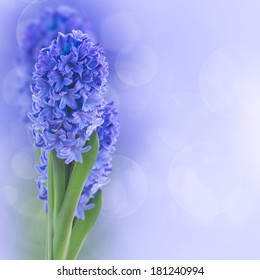 blue  hyacinth flowers on blue bokeh background