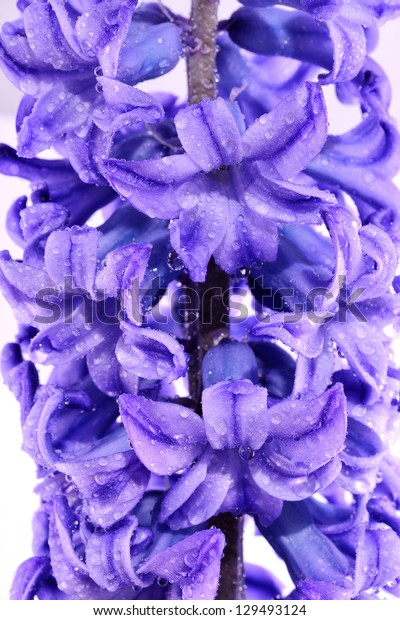 Blue hyacinth head isolated on a white background