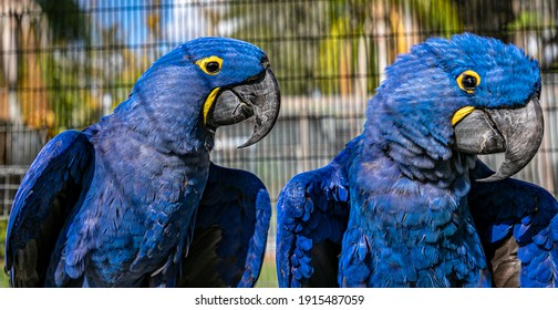 Blue Hyacinth or  hyacinthine  Macaw Parrot