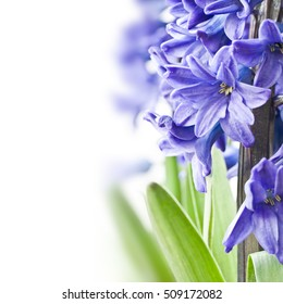 Blue hyacinth on white background with copyspace