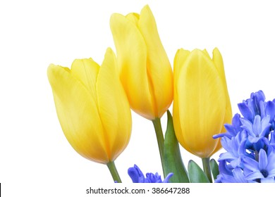 Blue hyacinth and yellow tulips isolated on white