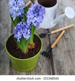 Blue hyacinths and garden tools on a wooden background