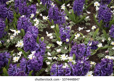 the Blue hyacinths and white anemone on the lawn in the botanical garden