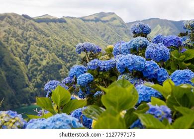 Blue hydrangea blooming by Lagoa das Sete Cidades, twin lakes in Sao Miguel, Azores
