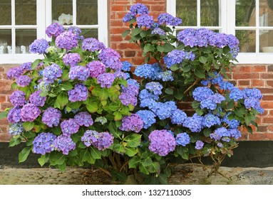 Blue hydrangea, bush under the window. Hortensia are popular ornamental plant.