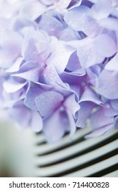 blue hydrangea close-up of large flowers Hortenzia on a striped background