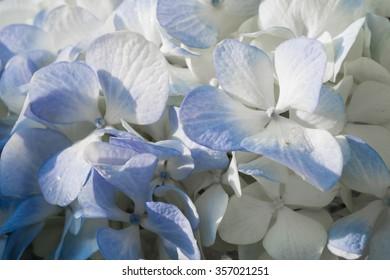blue hydrangea flower background