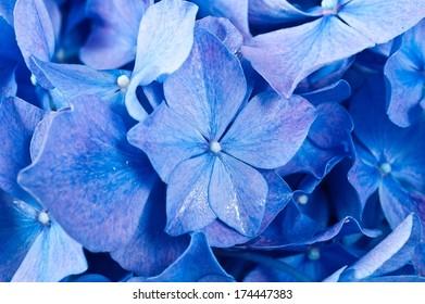 Blue Hydrangea flower. Hydrangea - common names Hydrangea and Hortensia.