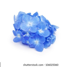 Blue Hydrangea flower isolated on white.