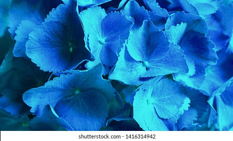 Blue hydrangea flower (Hydrangea macrophylla) or hortensia flower blooming in a park and garden. Beautiful bush of hortensia flowers. Flat lay, top view, close-up.