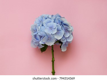 Blue hydrangea flower on the pink background