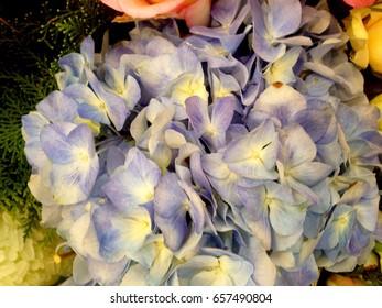 Blue hydrangea flowers background.