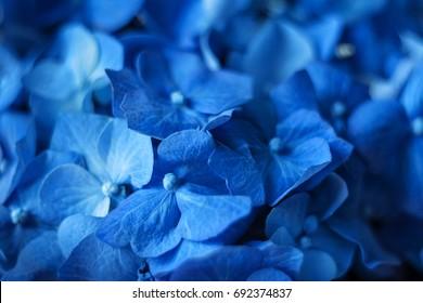 Blue hydrangea flowers macro