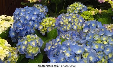 Blue Hydrangea Flowers in Spring