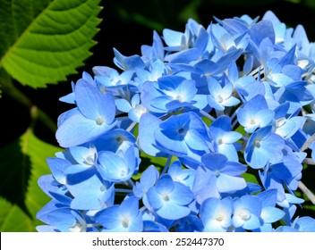Blue hydrangea in full bloom
