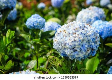 Blue hydrangea garden in mountain Vietnam