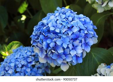 Blue Hydrangea or Hortensia (Hydrangea macrophylla) on Sao Miguel Island in the Azores, Portugal