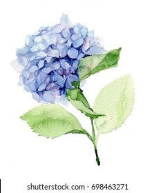 Blue Hydrangea. Hortensia. Watercolor illustration.
