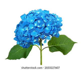 Blue hydrangea isolated on a white background