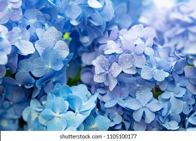 Blue Hydrangea (Hydrangea macrophylla) or Hortensia flower with dew in slight color variations ranging from blue to purple. Shallow depth of field for soft dreamy feel.
