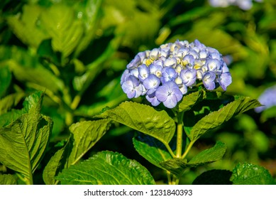 Blue Hydrangea (Hydrangea macrophylla) or Hortensia flower in the Garden.
