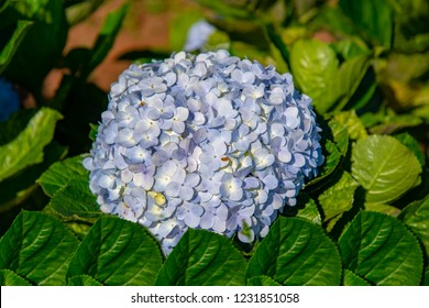Blue Hydrangea (Hydrangea macrophylla) or Hortensia flower in the Garden