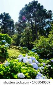 Blue Hydrangea (Hydrangea macrophylla) or Hortensia flower with  Araucaria angustifolia in Gramado, Rio Grande do Sul, Brazil