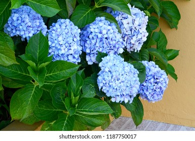 Blue Hydrangea (Hydrangea macrophylla) or Hortensia flowers in the garden.Decorative plants concept. Selective focus.