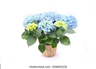 Blue hydrangea in a pot isolated on white background.