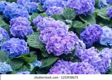 Blue Hydrangeas flowers in the garden