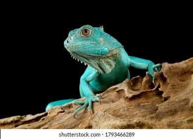 "Blue Iguana closeup head, Blue Iguana ""Grand Cayman Blue Iguana"", Cyclura Lewisi"
