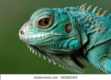 "Blue Iguana closeup head, Blue Iguana ""Grand Cayman Blue Iguana"", Cyclura Lewisi"