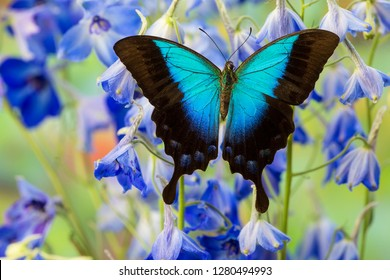 Blue Iridescence Swallowtail Butterfly, Papilio Pericles