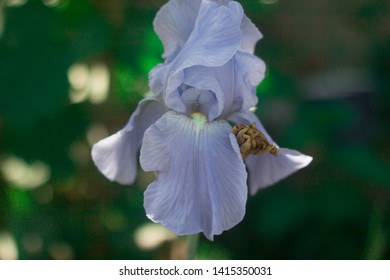 blue iris flower in the garden
