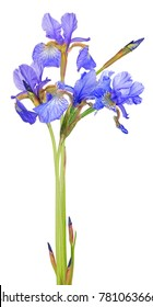 blue iris flowers isolated on white background