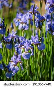 blue irises in the garden