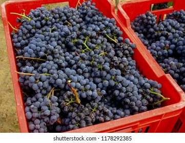 blue italian nebbiolo grapes just after harvesting