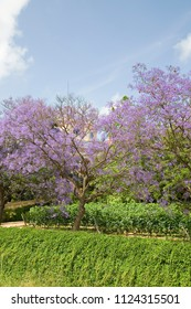 Blue jacaranda or black poui, Jacaranda mimosifolia, in Alella, Spain.