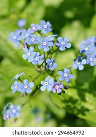 Blue Jack Frost flowers, also known as False Forget-me-not. Siberian bugloss (brunnera macrophylla Jack Frost)