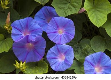blue japanese morning-glory flower